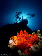 Yawning frogfish and wreck