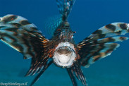 Yawning Lion fish