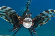 Yawning Lion fish