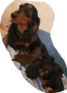 B-Wurf-Dackel-mit-Mutter-Coco.jpg