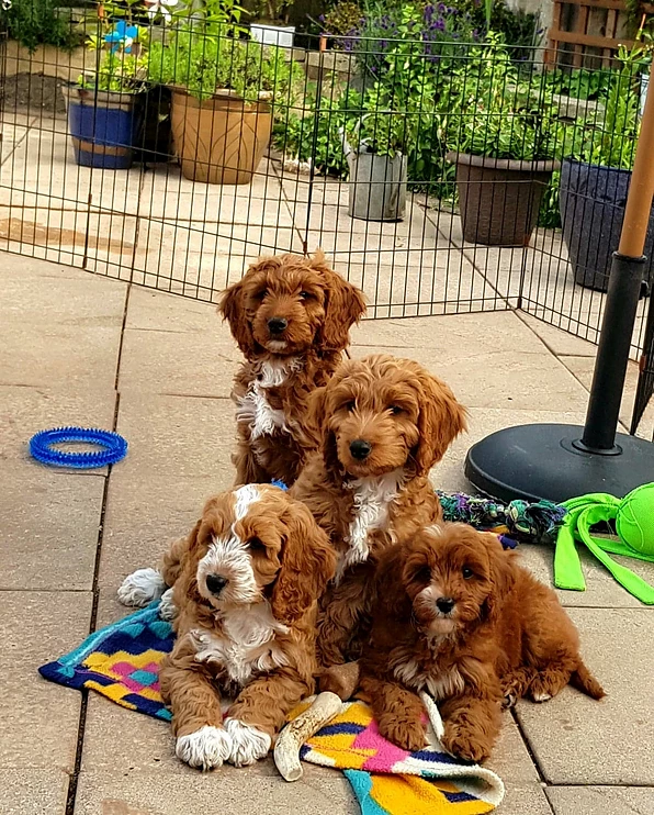 Cavapoo puppy, cockapoo puppy, poodles and doodles