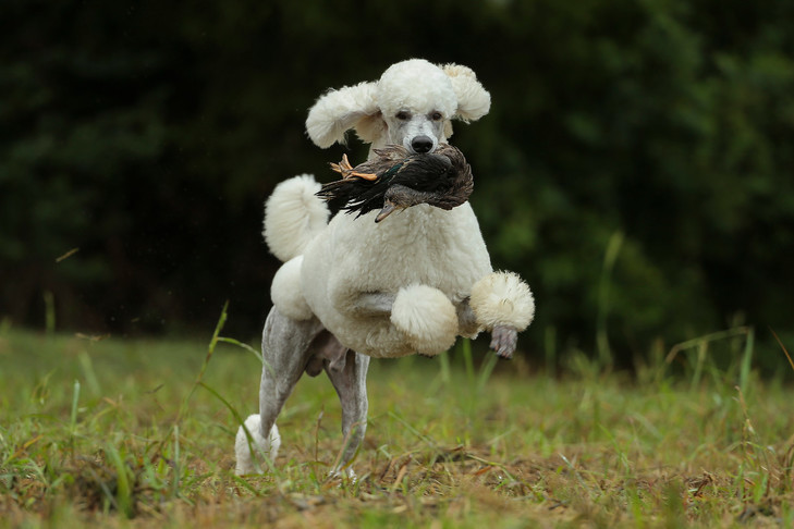 Poodles were originally a hunting breed with tight curly coat with excellent waterproof properties