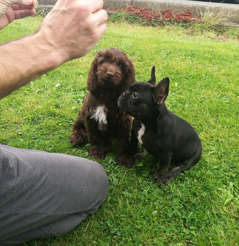 Trained cockapoo and french bulldog puppies