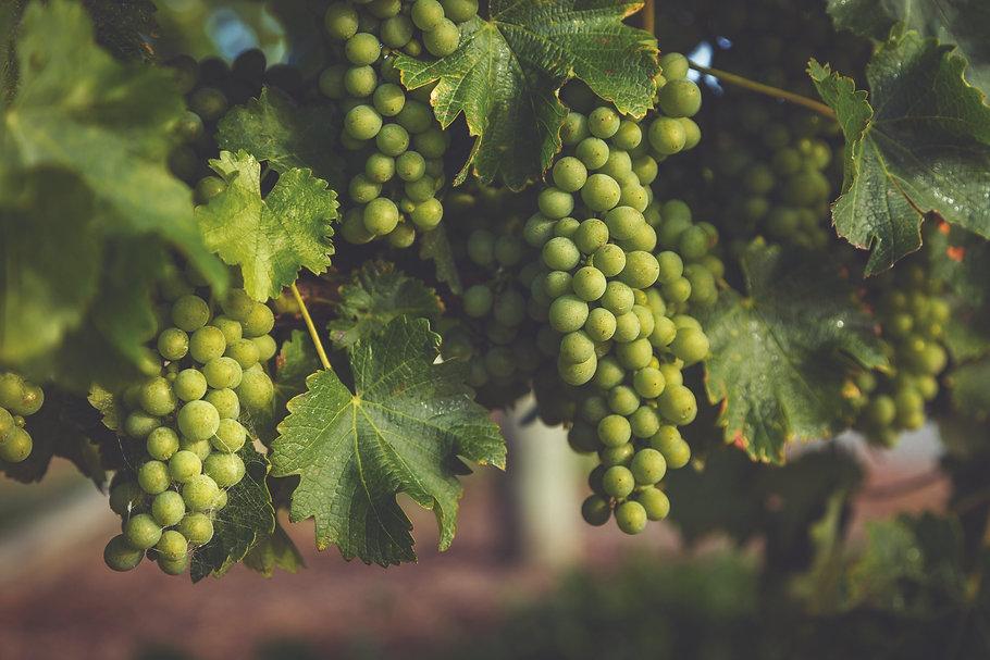 Marlborough-landscape-closeup-grapes-nat