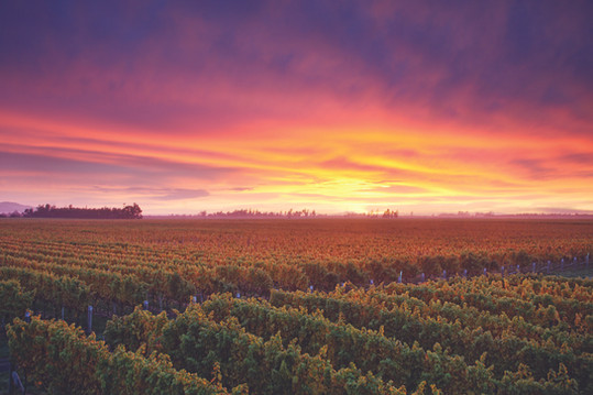Ara-marlborough-landscape-wide-vines-sun