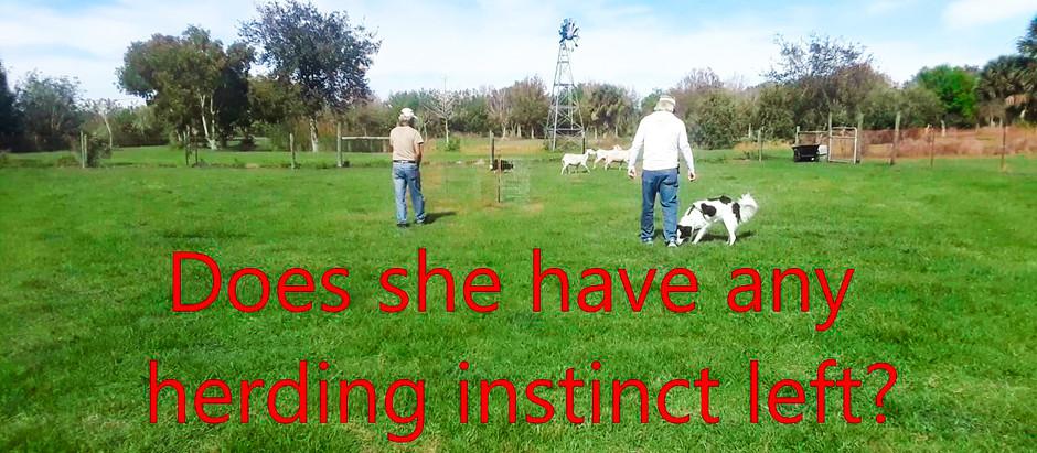 Do I have Herding Instinct?