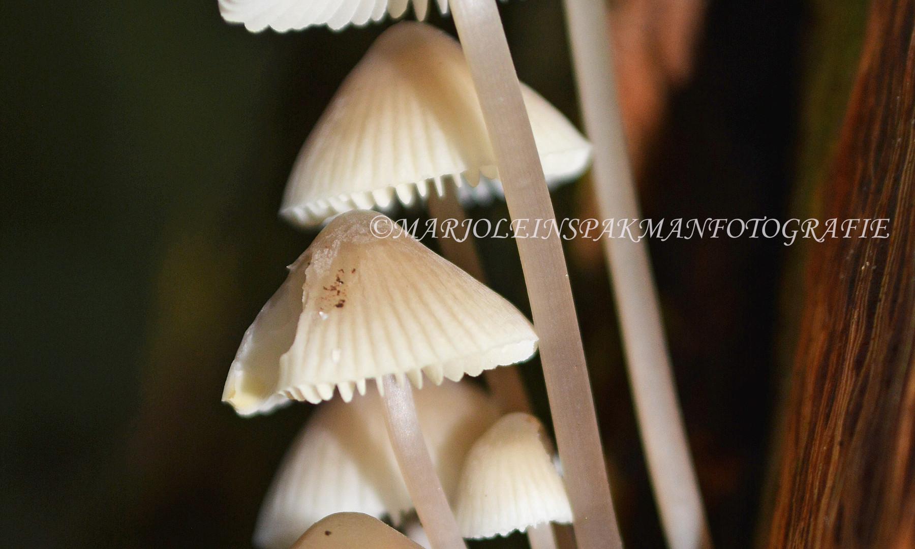 paddenstoelen01