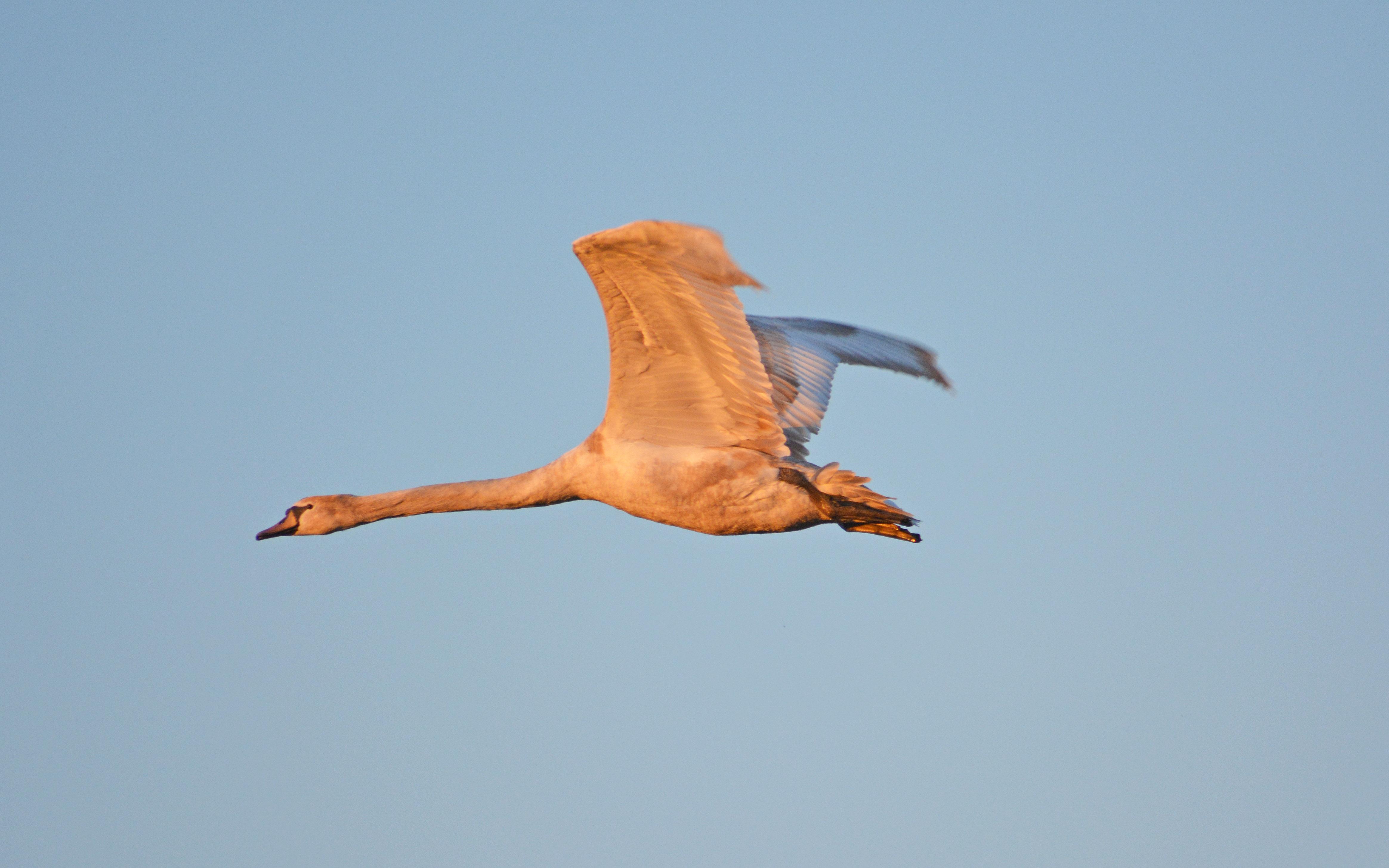vliegende zwaan