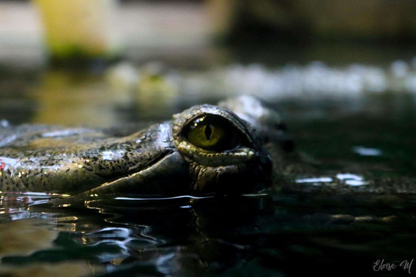 Crocodilus