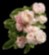 peônias cor de rosa