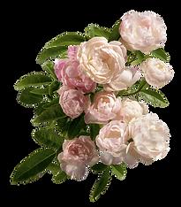 rosa Pfingstrosen