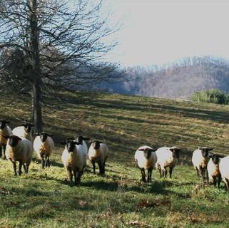 Breeding Stock