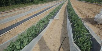 CHP 2014 tomatoes.jpg