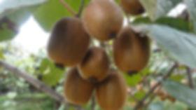 AngelKiwi. I kiwi Biodinamici