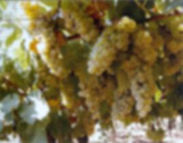 Uva biodinamica - Agricola Ceglia