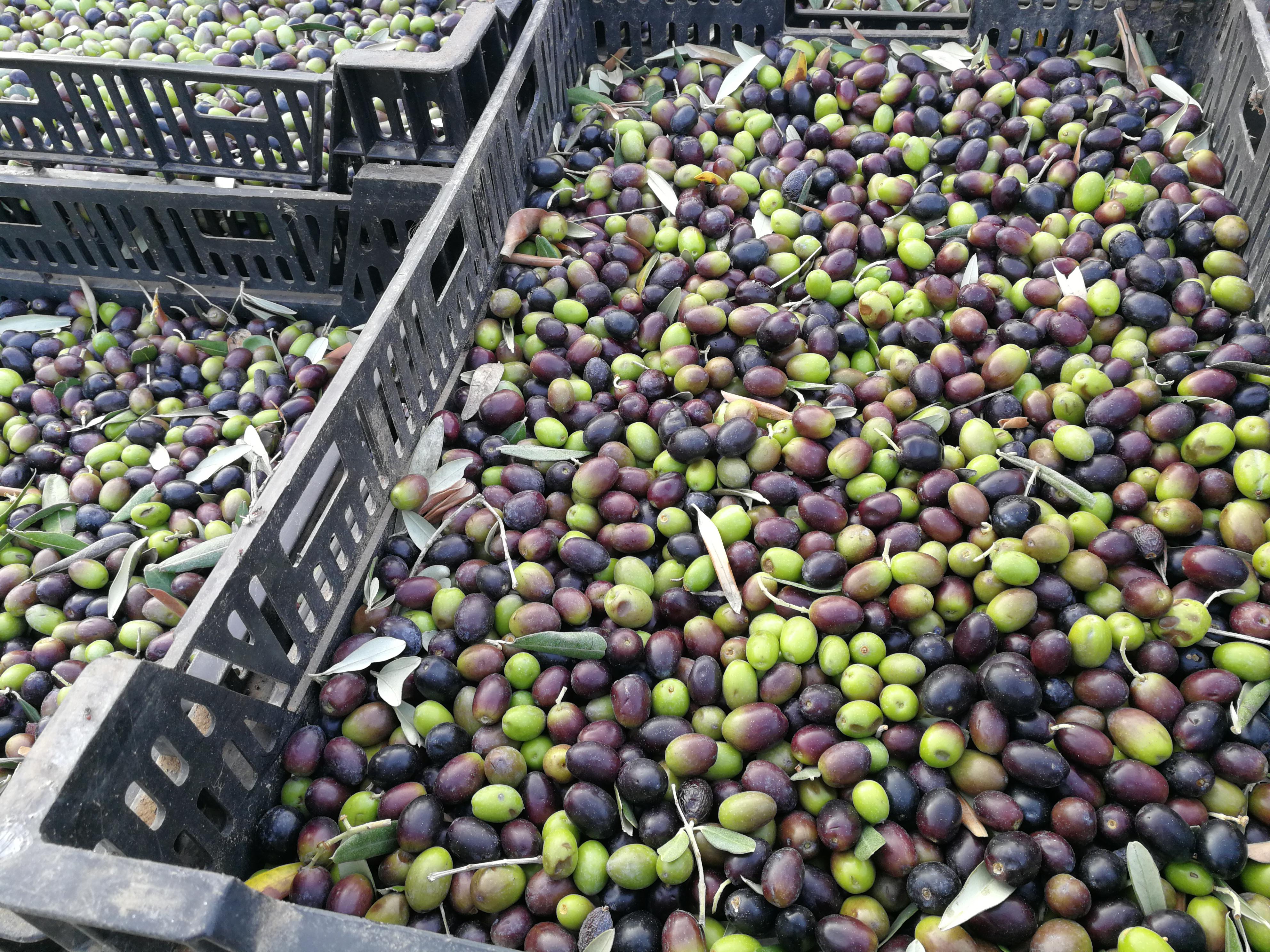 olive pronte per il frantoio