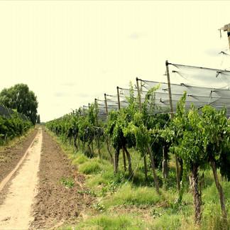 Variedad Tempranillo, Sistema de viña con tela