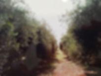 olivar en capayab.jpg