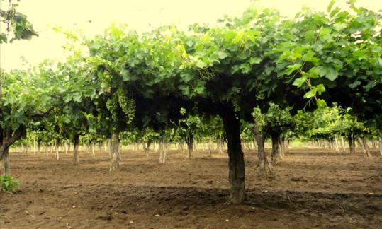 Uva Cereza y Criolla grande