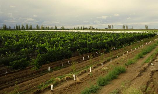 Viñedo en espaldero de las variedades Merlot, Malbec, Syrah y Cabernet Sauvignon