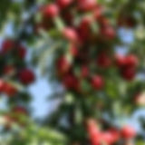 Apples and ladder in tree crop.jpg