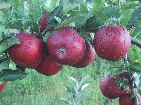 Classic_Apple_Pic.jpg