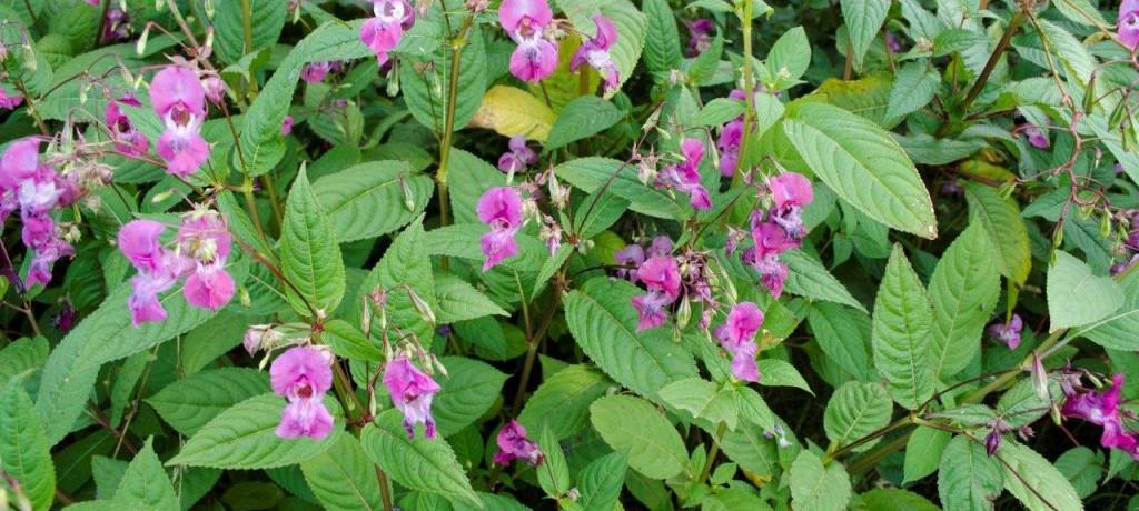 Invasive Weed: Himalayan Balsam