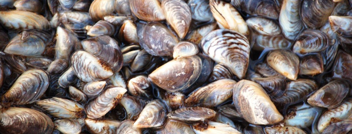 Invasive Species: Zebra Mussels