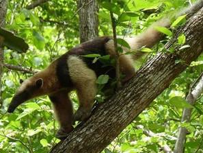 Michoacán es hogar de múltiples especies animales silvestres, como el oso hormiguero