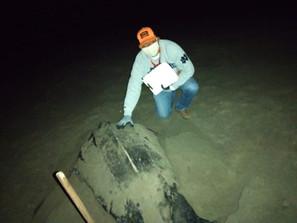 Continúan desove de tortugas Laúd en costas michoacanas