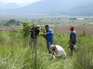 Reforestan El Ánima Sola en Paracho, con 2 mil 100 pinos