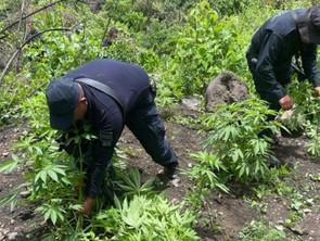 Destruye SSP más de 120 plantas de marihuana en Zacapu