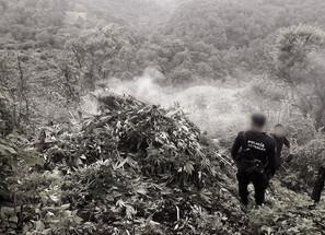 Destruye SSP 5 mil plantas de marihuana, en Charo