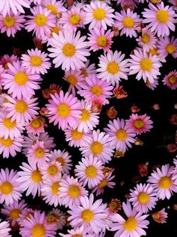 7_chrysantemerose