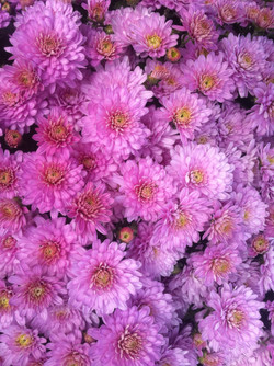 4_chrysantemerosedouble