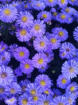 5_chrysanthemebleu