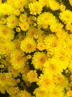 9_chrysanthemejaune