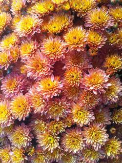6_chrysanthemejauneroz