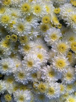 8_chrysanthemeblanc