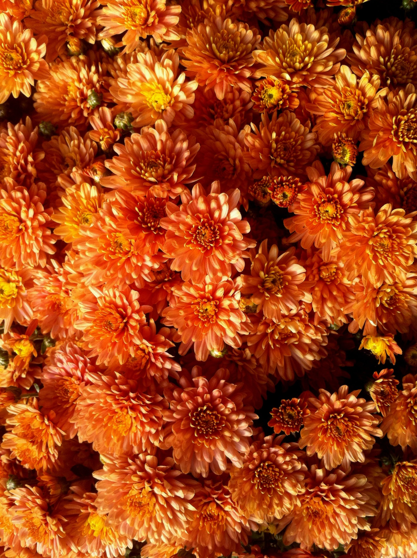 2_chrysanthemeorange