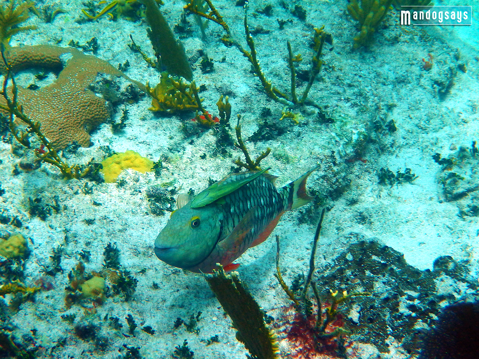 Female stoplight parrotfish with a remora attached