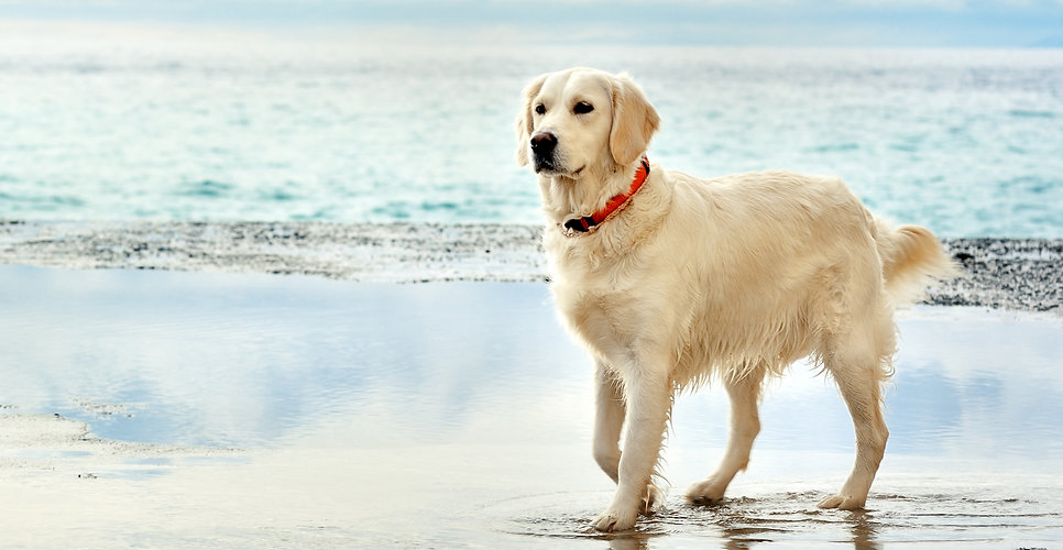 young white golden retriever stand waiti