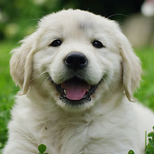 Puppies Golden Retriever breed with pedi