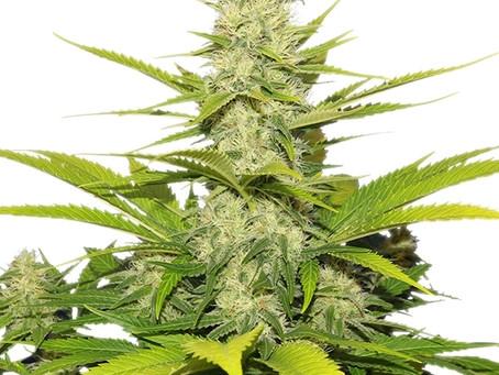 Descubre 8 de las mejores variedades de cannabis contra el dolor