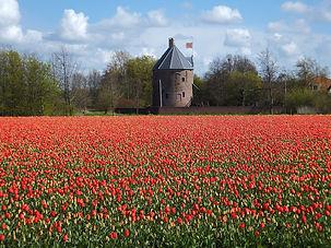 tulips in holland.jpg
