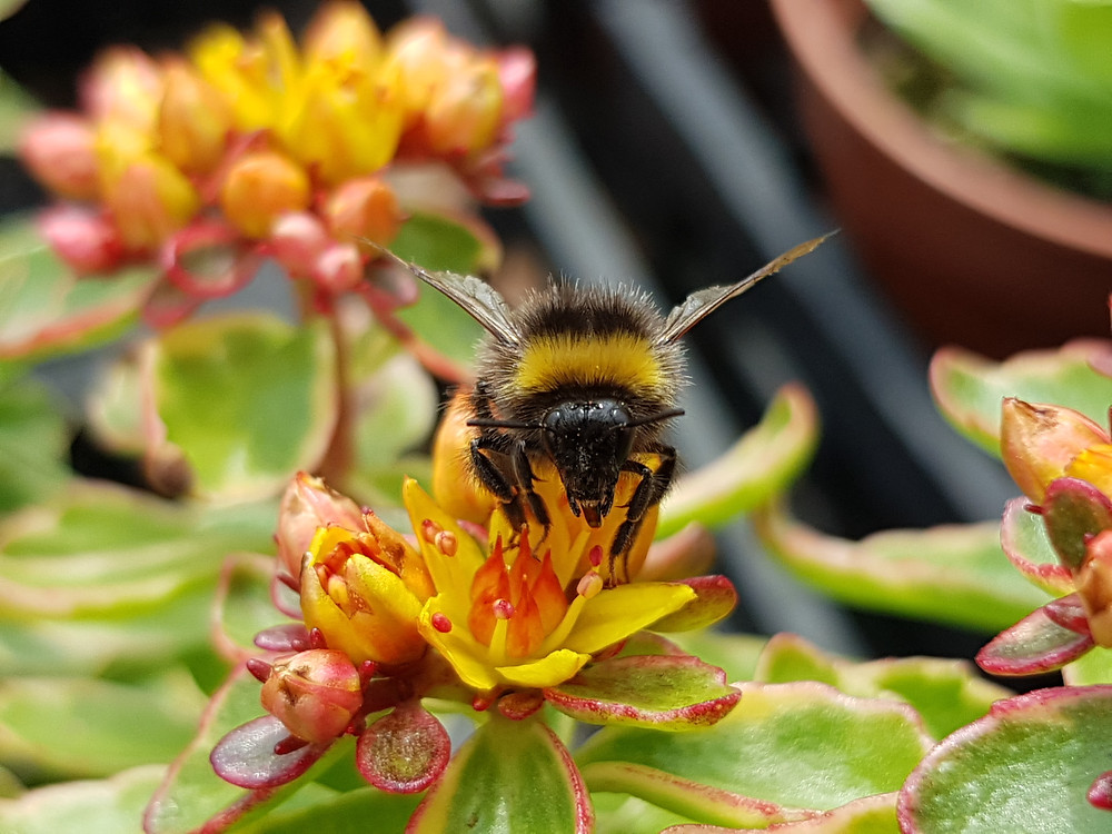 Bumble bee launching itself from a yellow Sedum flower