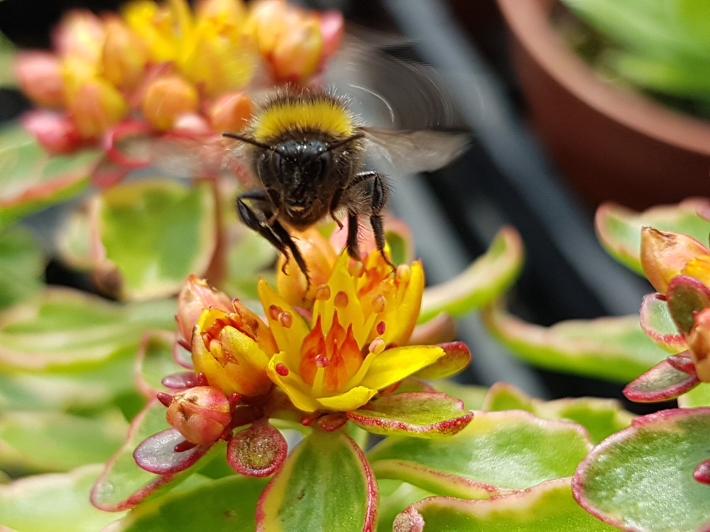 Bumble bee taking off from a yellow Sedum flower