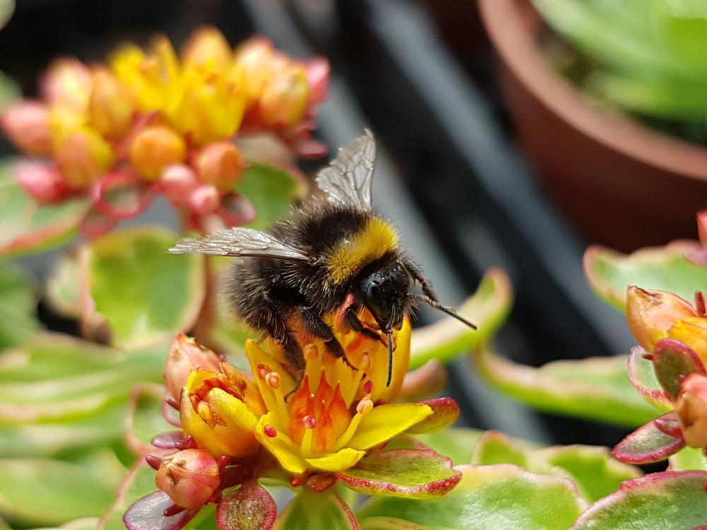 Bumble bee landing on a yellow Sedum flower