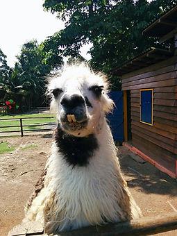 Fazenda Pet Zoo lhama