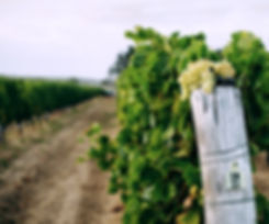 Vineyards-PhotoElementsMargaretRiver-13-